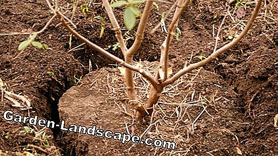 Transplant Rhododendron - Instructions for Implementation