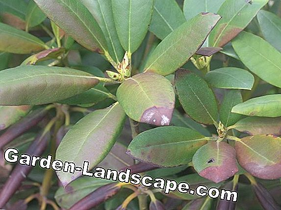 Rhododendron with yellow leaves: These are the causes