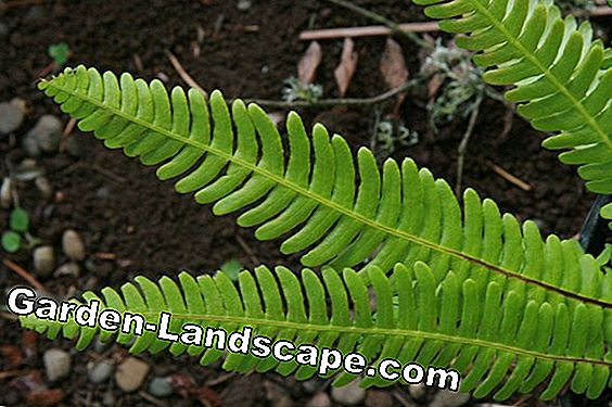 Rib Fern, Blechnum spicant - Profile, care and propagation