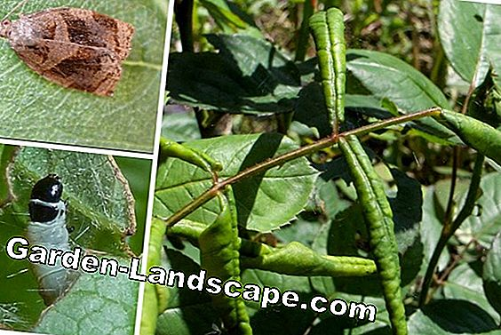 Rose diseases - rolled leaves, star soot & co