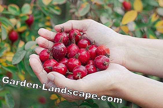 Harvest and utilize rosehips
