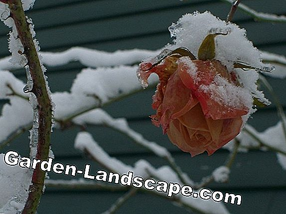 Preparing roses for the winter - Winter protection tips
