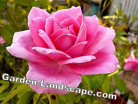 Plant roses correctly and transplant them
