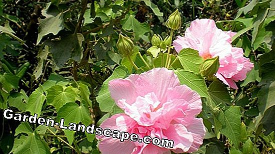 Transplant roses: How to grow successfully