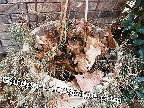 Palisanderbaum overwinter - what you have to pay attention to!