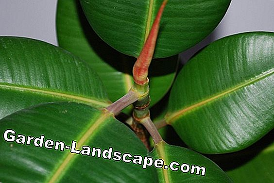 Rubber tree - care and diseases