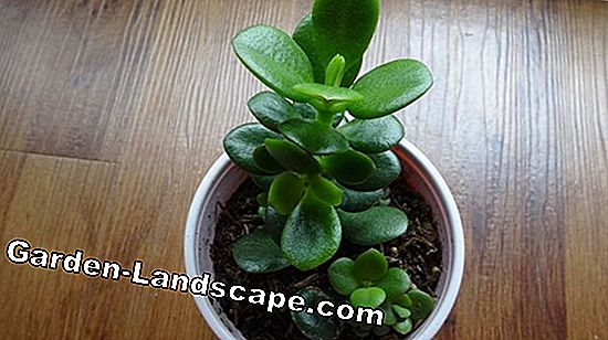 Sage increase by cuttings