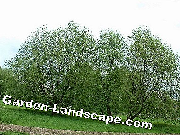 Salweide, Salix caprea - plants, care and cutting