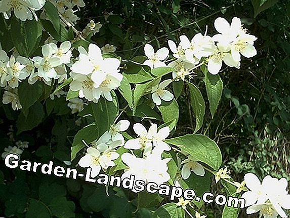 Scented Jasmine, Philadelphus Erectus - Care of the Pipe Shrub
