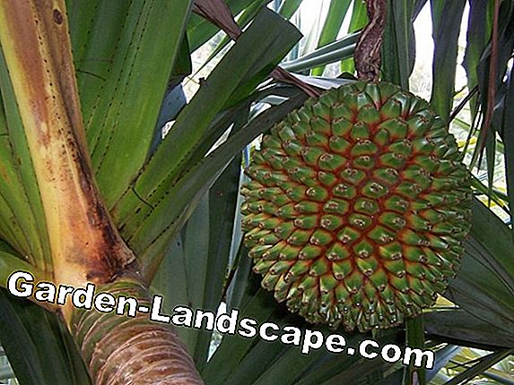 Screw tree, Pandanus - care