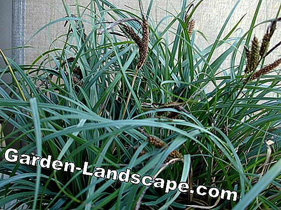 Sedges as evergreen pot jewelry