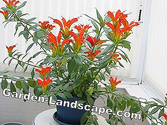 Sham flowers, Aeschynanthus - varieties and care notes