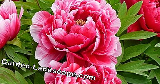 Plant shrub peonies properly