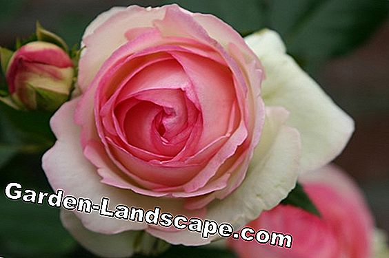 Shrub rose 'Eden Rose 85'