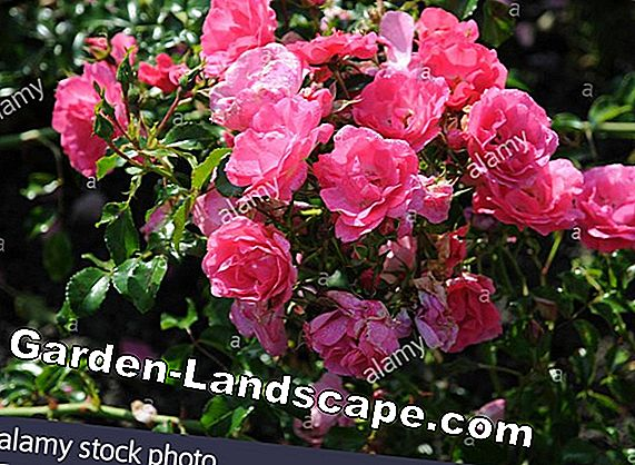 Shrub roses and Edelrosen