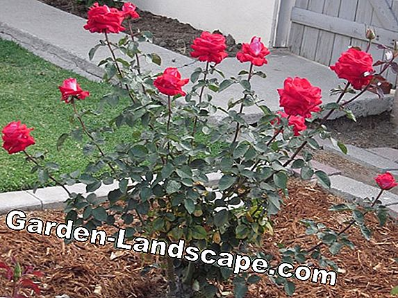 Shrub roses - robust varieties, tips for care and cutting