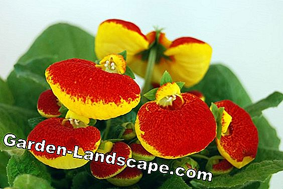 Slipper flower, Calceolaria - species, care and wintering