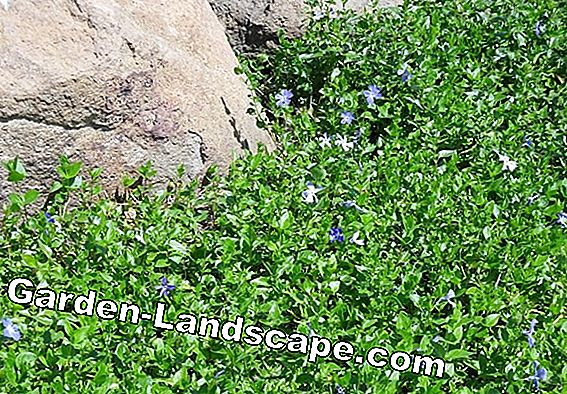 Small Periwinkle, Vinca minor - Profile, Care & Cut