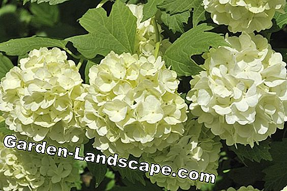 Snowball hydrangea - care and cutting of the ball hydrangea