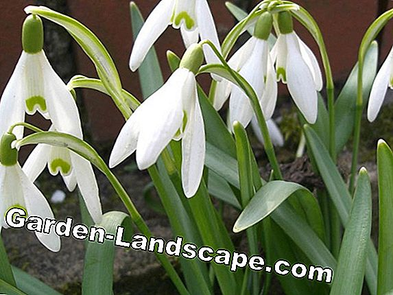 Plant snowdrops in time