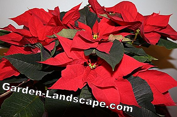 How to bring your poinsettia back to life