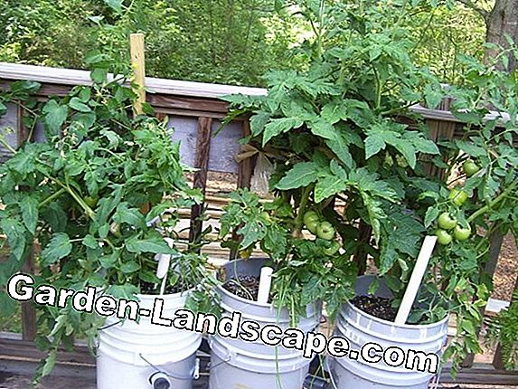 How to properly set your tomato plants