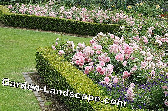 To design and plant a rose hedge