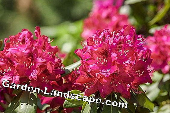 How to fertilize your rhododendron