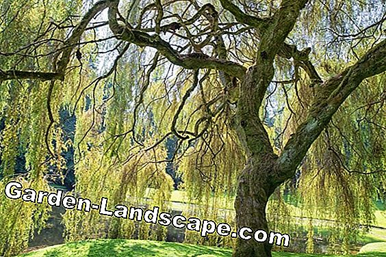 Willow species in the garden - Salix, care tips, cutting and propagating