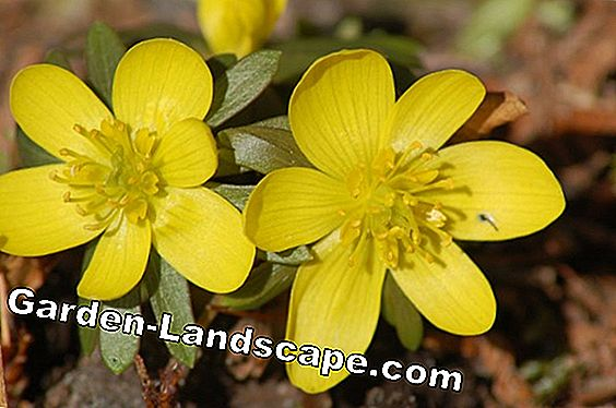 Spring Adonis - plants and care