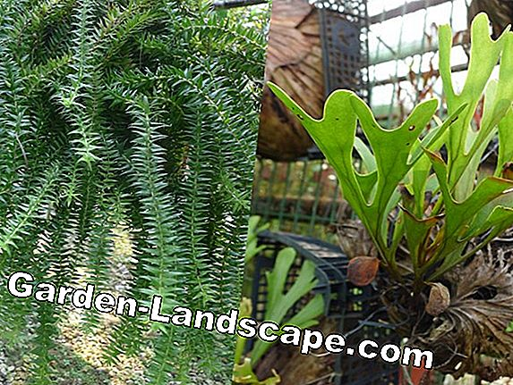 Antler fern, Platycerium - location and care tips