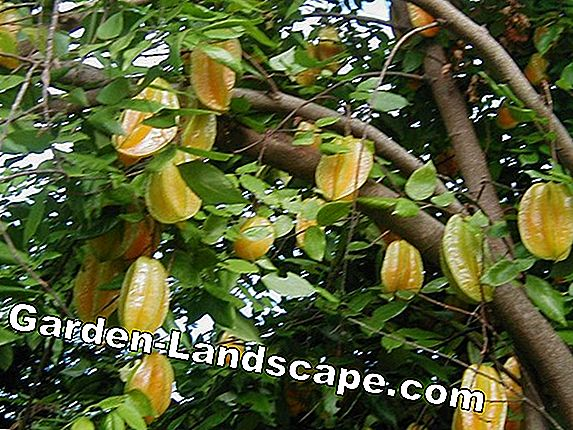 Star fruit, carambola - cultivation and care