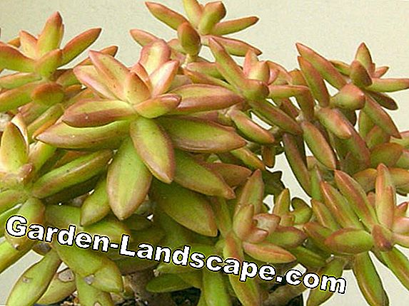 Stonecrop, Sedum rubrotinctum - care and properly multiply