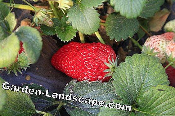 Fertilize strawberries: The most common mistakes
