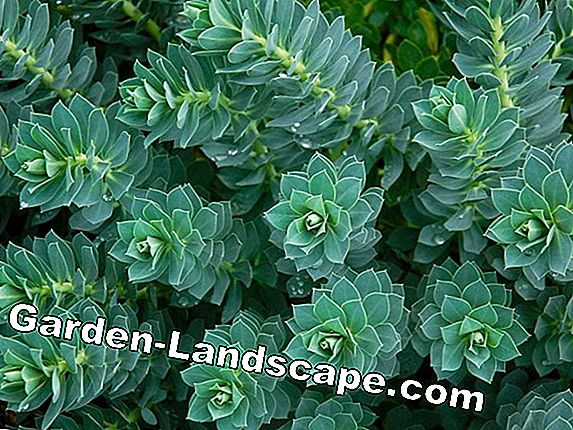 Succulent Spurge (Euphorbia, Euphorbia) - cactus, plants, care, cutting