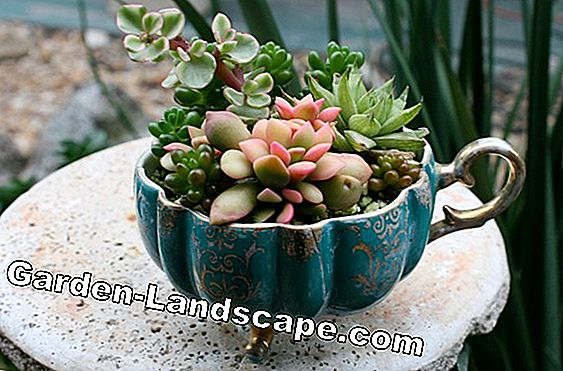 Succulents as indoor plants - care, watering and fertilizing