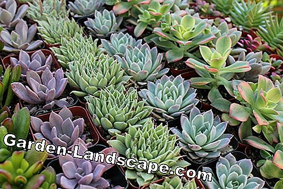 Plant succulents properly and repot - instructions