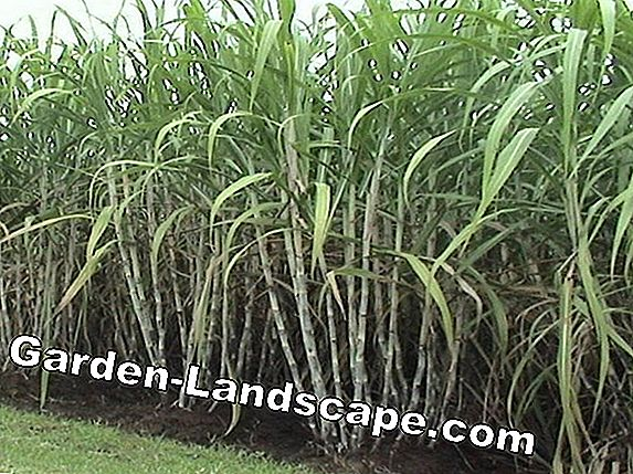 Sugarcane plant - profile and cultivation in the garden