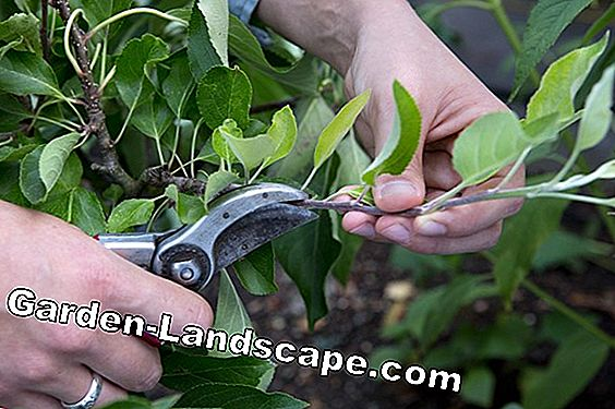 Summer cut for apple trees