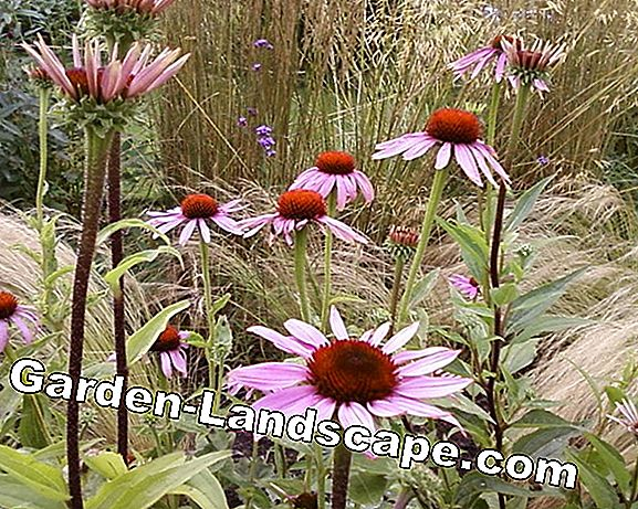 Coneflower: One name, two perennials
