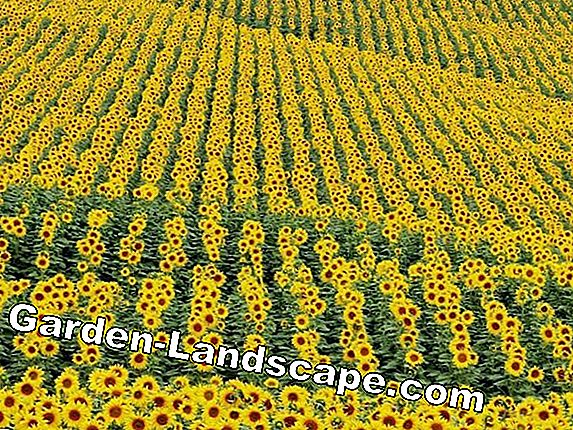 Sunflower cultivation - sowing, location and care