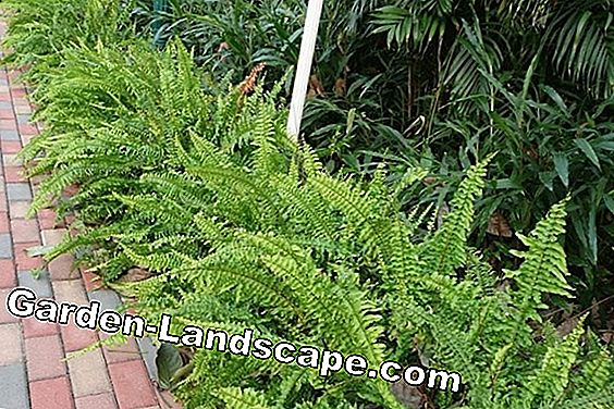 Sword fern, Nephrolepis - varieties and care
