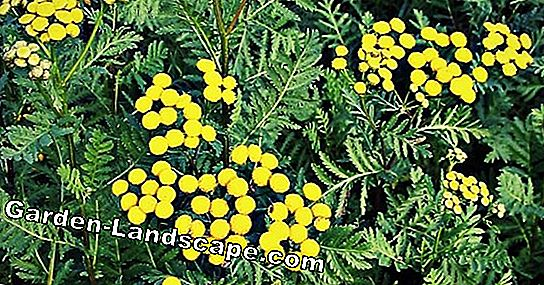 Tansy, Tanacetum vulgare - Wanted Poster, Plants & Care
