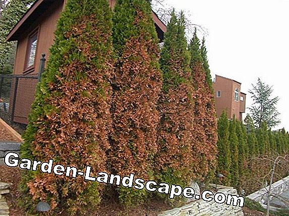 Thuja hedge: tips against brown shoots