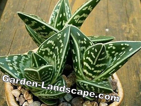 Tiger Alooe, Aloe variegata - care and wintering