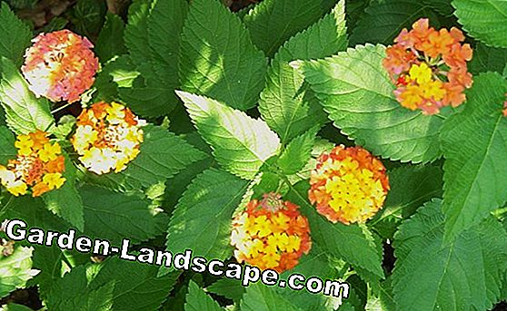 Tips from the community: How to properly care for Lantana