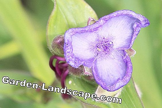 Tradescantia pallida, red leaf - care of the three-master flower