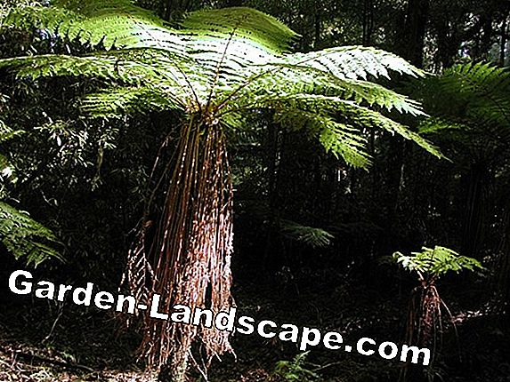 Tree fern, Cyatheales: Wanted poster and varieties