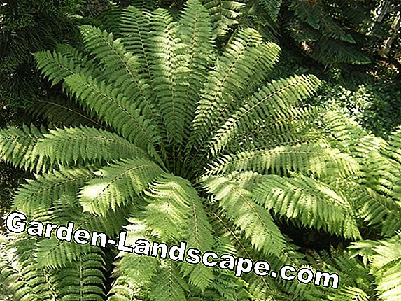 Tree Fern, Cyatheales - Cultivation and Care Instructions