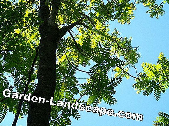 Tree of Gods, Ailanthus altissima - Characteristics & Care in the garden